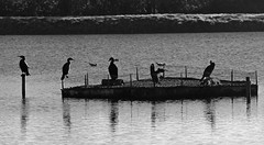 1850 - Cormorant meet up (Bruce Stokes) Tags: bw animal brandon cormorant marsh coventry brandonmarsh 2012photos 2012photos2012