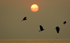 flying back home ([s e l v i n]) Tags: sunset sea sun india birds fly flying dusk bombay mumbai crows versova versovabeach birdsflying ©selvin flyingbackhome birdsflyingnexttosun