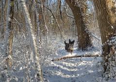 bounder (roscoepoet) Tags: dogs lawrence poet kansas roscoe nikond600 roscoepoet