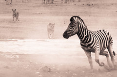 """Lion chasing Zebra in Etosha National Park, Namibia • <a style=""""font-size:0.8em;"""" href=""""https://www.flickr.com/photos/21540187@N07/8292845790/"""" target=""""_blank"""">View on Flickr</a>"""