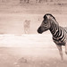 "Lion chasing Zebra in Etosha National Park, Namibia • <a style=""font-size:0.8em;"" href=""https://www.flickr.com/photos/21540187@N07/8292845790/"" target=""_blank"">View on Flickr</a>"