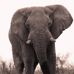 """Elephant in Etosha National Park, Namibia • <a style=""""font-size:0.8em;"""" href=""""https://www.flickr.com/photos/21540187@N07/8293926102/"""" target=""""_blank"""">View on Flickr</a>"""