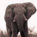 "Elephant in Etosha National Park, Namibia • <a style=""font-size:0.8em;"" href=""https://www.flickr.com/photos/21540187@N07/8293926102/"" target=""_blank"">View on Flickr</a>"
