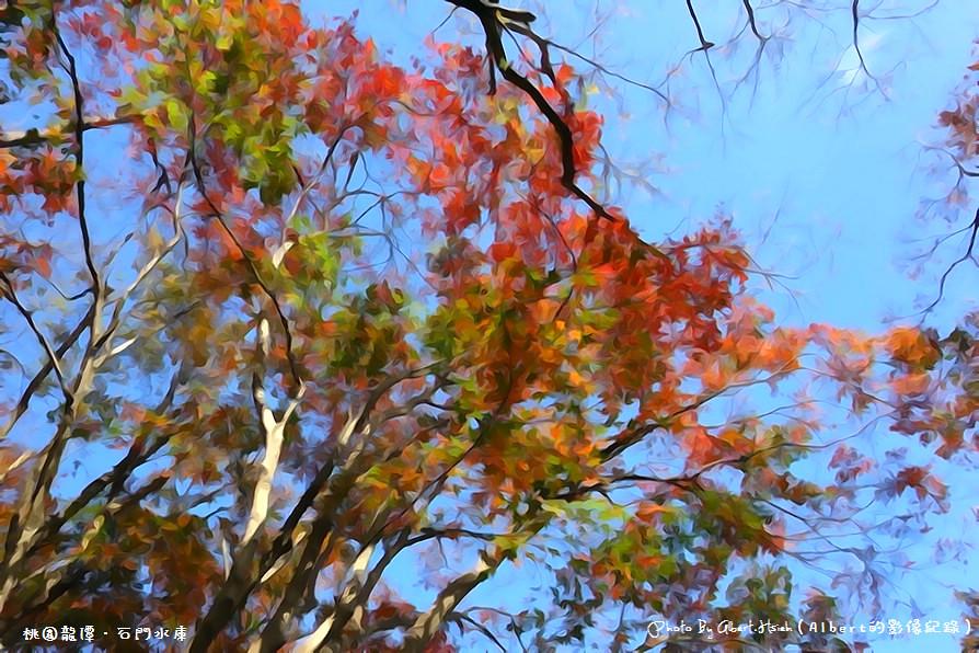 【楓葉】桃園龍潭.石門水庫(陽光照射下的楓紅更是美麗)
