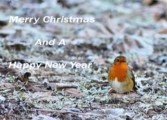 Happy Christmas Everyone ! (Stephen Whittaker) Tags: christmas robin nikon frost d5100 whitto27