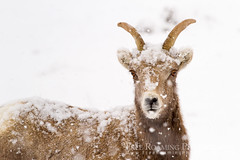 Bighorn Sheep Ewe Accumulating Snow (Free Roaming Photography) Tags: winter usa white snow cold west animal female mammal snowflakes sheep adult wildlife horns northamerica snowing wyoming horn snowfall jacksonhole bighornsheep accumulation ewe nationalelkrefuge