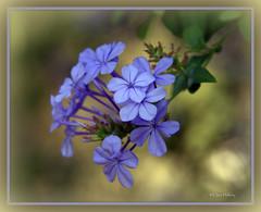 contemplation (loobyloo55) Tags: blue flower canon petals flora 7d floraandfauna canoneos7d