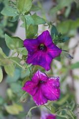 Flores da Vov (Fausto Fa) Tags: brazil flower brasil purple flor es roxo espiritosanto brasilemimagens