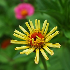 zinnias again (SS) Tags: pink flowers light italy flower verde green nature colors grass yellow composition contrast square photography countryside october focus day dof angle pentax pov walk perspective gimp crop framing zinnia minimalism fiore tones zinnias lazio k5 blooming