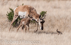 Mom has Arrived (ChicagoBob46) Tags: ngc fawn antelope yellowstonenationalpark yellowstone comfortinn pronghornantelope naturesgallery thewondersofnature goldwildlife 100commentgroup thenaturesgreenpeace