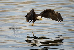 American Bald Eagle Fishing [2334] (cl.lin) Tags: fish bird birds river mississippi fishing nikon midwest eagle lock dam wildlife 14 birding flight bald sigma iowa american mississippiriver juvenile eagles americanbaldeagle birdinflight d600 leclaire lockanddam14 ld14