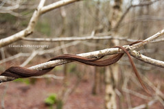 Tangled 47/52 (ClaudiaJR) Tags: wood tree nature forest hair branches