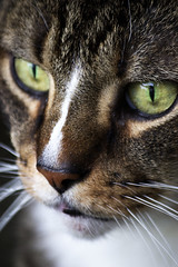 Hunter (DFChurch) Tags: pet face animal cat feline hunter