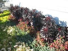 IMG_8538 (m_ke) Tags: pasadena artcenter succulents rooftopgarden aeoniumarboreum