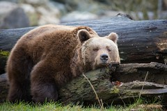 Braunbr / Brown bear (explored) (burnett0305 - Thanks for over 175.000 views!) Tags: canon bayern bavaria celebrities mammalia bren straubing carnivora raubtiere sugetiere ausrstung canonef100400mmf4556lisusm canoidea tiergartenstraubing canoneos5dmarkiii mygearandme mygearandmepremium mygearandmebronze mygearandmesilver mygearandmegold mygearandmeplatinum mygearandmediamond photographyforrecreation rememberthatmomentlevel4 rememberthatmomentlevel1 rememberthatmomentlevel2 rememberthatmomentlevel3 rememberthatmomentlevel5 rememberthatmomentlevel6 celebritiesofphotographyforrecreation bearursidae hundertige stadtstraubing pfrclassic
