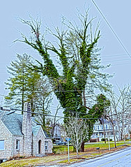 Unusual Tree, North Wilkesboro, Wilkes County (Bass Player Keith Hall) Tags: streetphotography urbanphotography unusualtree hdrphotography elkinnc northwilkesboronc wilkesboronc bramedrug keithhallphotography wilkespubliclibrary johnehallattn