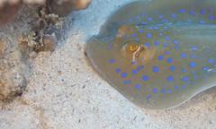 Blue Spotted Ray (Raymond Dixon) Tags: sea water redsea egypt sharm aquatica canon5dmkii raymonddixon aridonyx