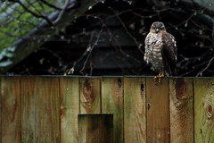 Sparrowhawk in the Garden (Alexis Peace Hall) Tags: life wild bird nature canon britain 7d birdwatching kestrel newcastleupontyne southgosforth
