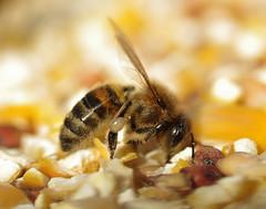 Beeeeeee (Angela Freeman) Tags: macro insect bee tamron90mm pentaxk5
