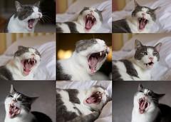 The Many Yawns of Baxter (Josh Lattier) Tags: rescue pet pets animal collage cat canon 50mm feline sleep tabby yawn sleepy lazy ii 5d f18 tamron ef 50mmf18 tamron2875mmf28