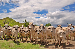 Cattles (Bella Abelita) Tags: cattle philippines capital livestock masbate