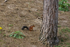 Red Squirrel, Formby Nature Reserve (bobbex) Tags: beach liverpool squirrel crosby merseyside formby anthonygormley ironmen