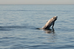 Whale Watching in the Monterey Bay (Images by John 'K') Tags: california monterey unitedstates dolphin montereybay dolphins whalewatching johnk rissosdolphin rissosdolphins d7000 mont