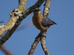 Eurasian Nuthatch__P1050026 (Ian Liao) Tags: bird lens lumix g panasonic photographs eco   vario 100300mm m43 mft gh2 lumixg gf5