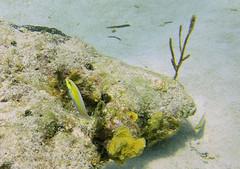 DSCN2250 (stringbeanqx) Tags: little cayman scuba reef divers dive diver diving caribbean yellow headed wrasse