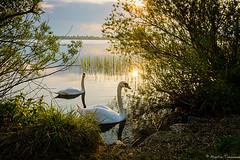A pair of Swans (martintimmann) Tags: water gegenlicht romance lake schwan swan see