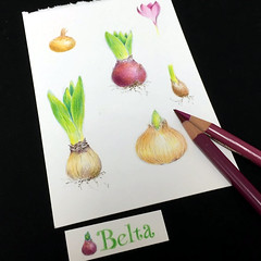 2016_07_26_bolb_01 (blue_belta) Tags: bulb coloredpencil drawing   hyacinth