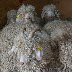 Chvres angora (Oric1) Tags: le haut corlay mohair du pays de france franceoric1 oric1 angora breizh bretagne brittany caprin chvre colors couleurs ctesdarmor laine mode nature whool lehautcorlay mohairdupaysdecorlay arttextile animal levage agriculture sigma1835mmf18dchsmart