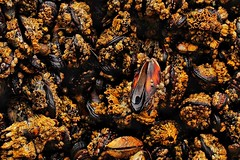 Mussels and Barnacles (amarilloladi) Tags: canonbeach oregon pacificocean beach ocean tidepools barnacles mussels