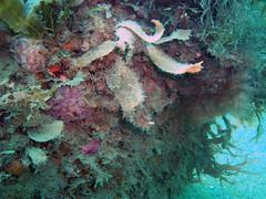 DurlBay 14 (bloomspix) Tags: seasearch underwater englishchannel swanage