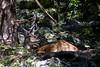 il cervo a prunno (filippo.bassato) Tags: cervo prunno montagna asiago allevamento corna animale filippobassato natura campagna