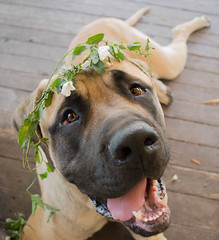 I love you so much my handsome man. (lexlikelily) Tags: englishmastiff mastiff flowercrown