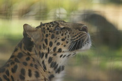 053_Great Cats Park_Leopard (steveAK) Tags: greatcatsworldpark leopard