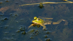 Frog and Tadpole (Bill McBride Photography) Tags: frog tadpole water amphibian nature wildlife ritchgrissommemorial viera melbourne fl florida summer august 2016 canon eos 70d ef100400l