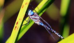 Darner at rest (TJ Gehling) Tags: insect odonata anisoptera dragonfly aeshnidae darner blueeyeddarner rhionaeschna rhionaeschnamulticolor canyontrailpark elcerrito