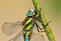 Migrant Hawker Dragonfly 56538 (wildlifetog) Tags: mbiow martin migrant herseynaturereserve hawker dragonfly southeast seaview sssi isleofwight blackmore britishisles uk canon european eos7dmkii nature wild wildlifeeurope wildlife wings