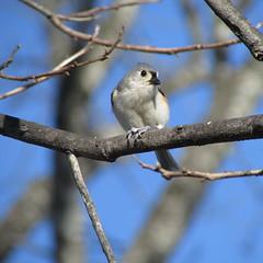 Tufted titmouse (rkayeo72) Tags: tuftedtitmouse birds winter rural southcarolina