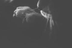 Mau (ChristinaWieck) Tags: mau katze tier haare krallen spitz au nase dunkel matt schwarzweiss sw blackwhite