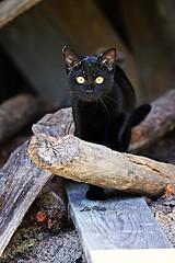 Baghera (ladupart) Tags: blackcat chaton babycat black nikon d3200 extrieur