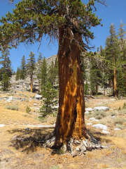 Foxtail Pine (Mike Dole) Tags: johnmuirtrail california sierranevada anseladamswilderness inyonationalforest foxtailpine