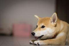 Yotsuba365 Day81 (Tetsuo41) Tags: shibainu dog yotsuba