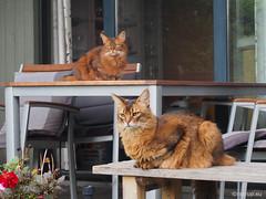 Favourite outdoor places, 1 - for Happy Caturday (Finn Frode (DK)) Tags: cats table chair verandah rest rags dusharatattersandrags caithlin dusharacathalcaithlin somali somalicat som olympus omdem5 denmark animal pet cat outdoor happy caturday