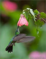 Green-crowned brilliant (Raymond J Barlow) Tags: hummingbird costarica travel workshop raymondbarlow adventure birdinflight