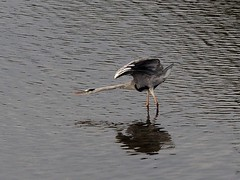 Grey heron () (Greg Peterson in Japan) Tags: ritto shiga yasugawa rivers japan wildlife birds egretsandherons deba shigaprefecture jpn