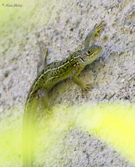 Lzard vert - green lizard (Kaya.paca) Tags: lzard vert lizard green jardin exterieur capture