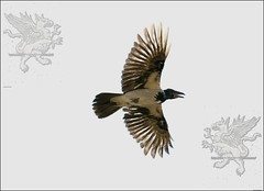 corvo4